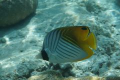 Threadfin butterflyfish Chaetodon auriga royalty free stock image