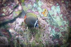 Chaetodon butterflyfish. Chaetodon is a tropical fish genus in the family Chaetodontidae. Like their relatives, they are known as butterflyfish. This genus is by Stock Photos