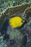 Chaetodon citrinellus Stock Image