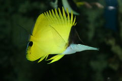 Chaetodon, exotic fish. Chaetodon, the exotic tropical fish Stock Photos
