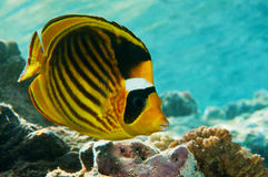 Chaetodon  fasciatus Royalty Free Stock Photo
