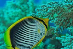 Chaetodon melanotus - Buttefly fish - Red Sea Royalty Free Stock Images