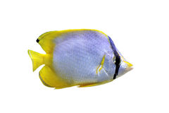 Chaetodon ocellatus. Or spotfin butterflyfish in front of white background Stock Photos