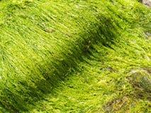 Chaetomorpha aerea. Waving seaweed  near the Frisian islands Royalty Free Stock Photos