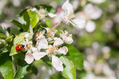 Chafer και ladybug στα λουλούδια δέντρων μηλιάς Στοκ φωτογραφία με δικαίωμα ελεύθερης χρήσης