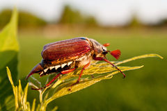 Chafer. Photo of the single chafer at the green leaf Stock Photos