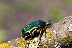 Chafer. Photo of a chafer on the stem Stock Photos