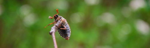 chafer Imagens de Stock Royalty Free