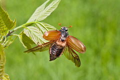 Chafer beetle. Photo of the single chafer at the green leaf stock photos