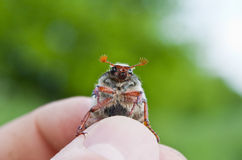 Chafer beetle. Photo of the single chafer Royalty Free Stock Photography