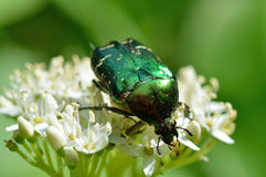 Chafer beetle(Cetonia aurata) Royalty Free Stock Photo