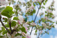 Chafer beetle. Collecting pollen on a flower apple Stock Photos
