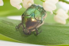 Chafer beetle Stock Photos