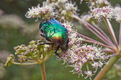 Chafer beetle. Royalty Free Stock Photos