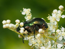 Chafer beetle Royalty Free Stock Photo