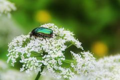 Chafer beetle on a flower. It can be used to design cards as illustration or as a background stock image
