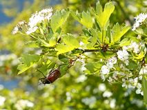 Chafer beetle on flowering hawthorn tree Stock Images