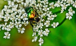 Chafer beetle on flowering plants Stock Photo