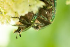 Chafer beetle Stock Image
