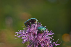 Chafer beetle on  flowers. Stock Image