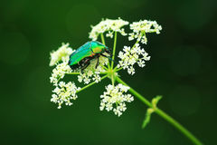 Chafer beetle on flowers of podagraria Stock Photography