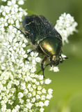 Chafer Beetle Royalty Free Stock Photography