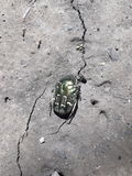 Chafer beetle. Green chafer beetle gray background Royalty Free Stock Images