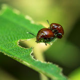 Chafer Beetle. Mating chafer beetle on top of leaf Stock Photo