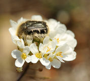 Chafer beetle mourning on the petal of a flower (Oxythyrea funes Stock Image