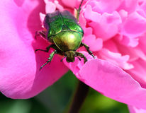 Chafer beetle on peony flower macro Stock Photos