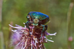 Chafer beetle  pollinating flowers. Royalty Free Stock Images