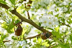 Chafer beetles on flowering hawthorn tree Stock Photo