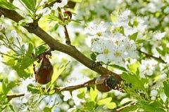 Chafer beetles on flowering hawthorn tree Stock Photo