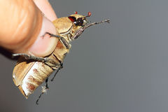 Chafer. The big brown chafer is caught in hand Stock Images