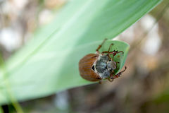 Chafer. Big chafer on the green leave Stock Photos