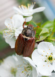 Chafer. On cherry blossom flower closeup Stock Photos