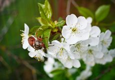 Chafer. Cherry blossom flower chafer on macro Royalty Free Stock Image