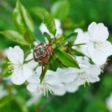 Chafer. Cherry blossom flower chafer on macro Stock Images