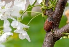Chafer. Cherry blossom flower chafer on macro Stock Photo