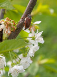 Chafer. Cherry blossom flower chafer on macro Royalty Free Stock Photo