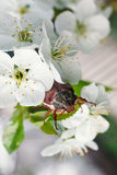 Chafer. Cherry blossom flower chafer on macro Royalty Free Stock Photos