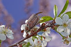 Chafer. On cherry branch and sky in a spring day Royalty Free Stock Photos