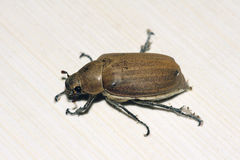 Chafer Royalty Free Stock Image
