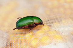 Chafer. The close-up of green chafer Stock Photography