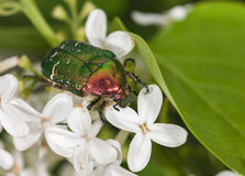Chafer close up Stock Photos