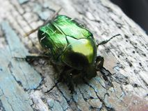 Chafer closeup. These beetles appear only in the spring. They are hard wings royalty free stock photo