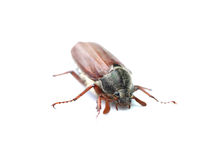 Chafer Stock Photography