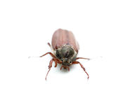 Chafer Stock Photos