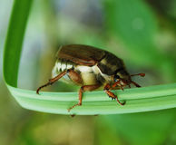 Chafer. Creeps on the green grass Royalty Free Stock Photo