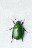 Chafer. The dorsal close-up of emerald chafer Stock Photo